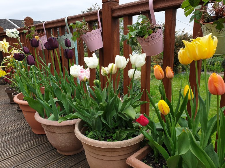 Tulips in pots.