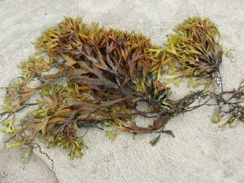 Seaweed lying on beach.