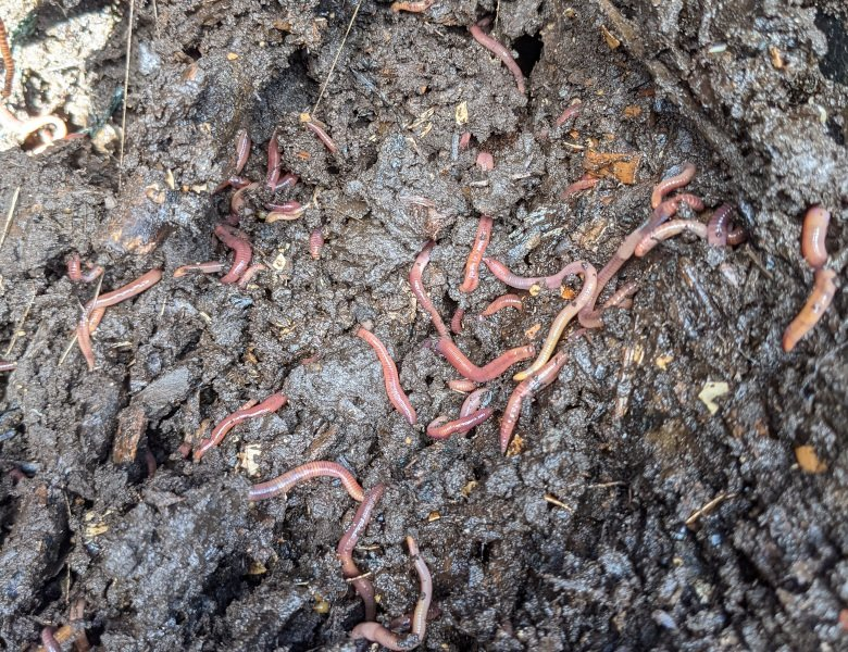 Worms hard at work in immature compost.