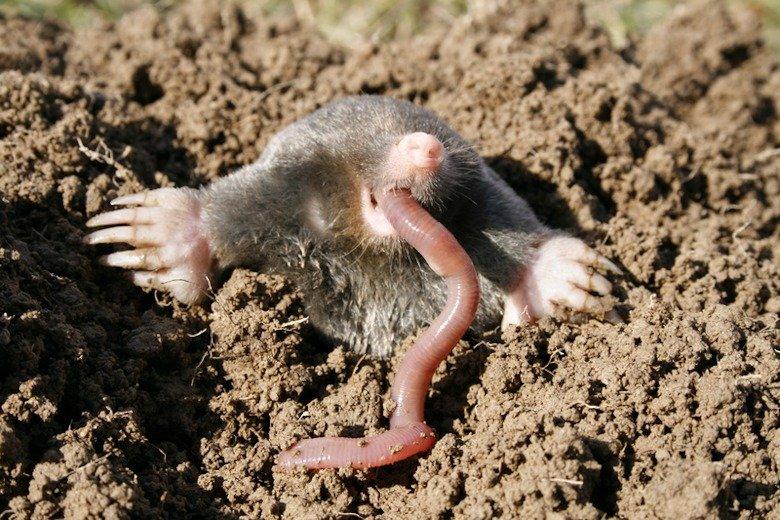 A mole eating a worm.