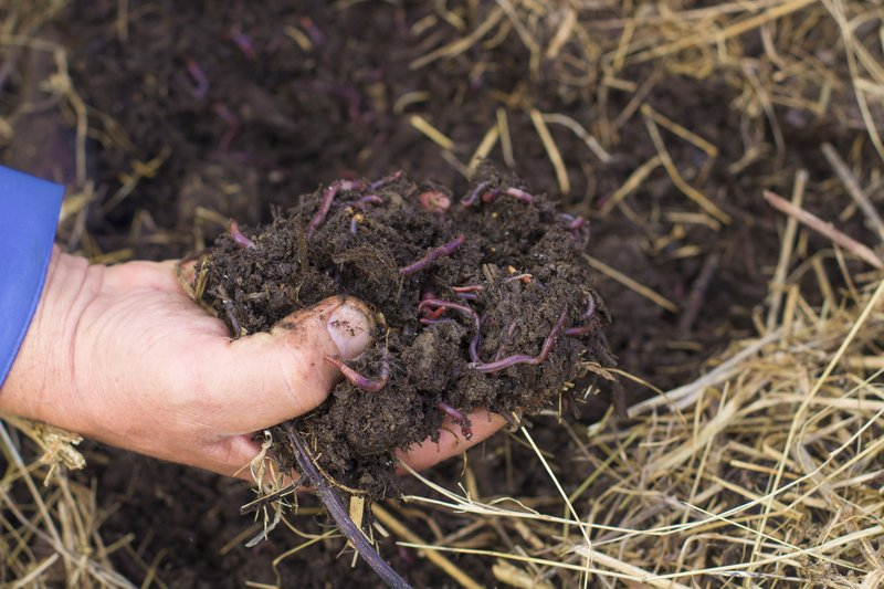 Worms from compost in a man's hand.